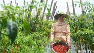 Petani Biarkan Cabai Busuk di Pohon Gara-gara Harga Anjlok