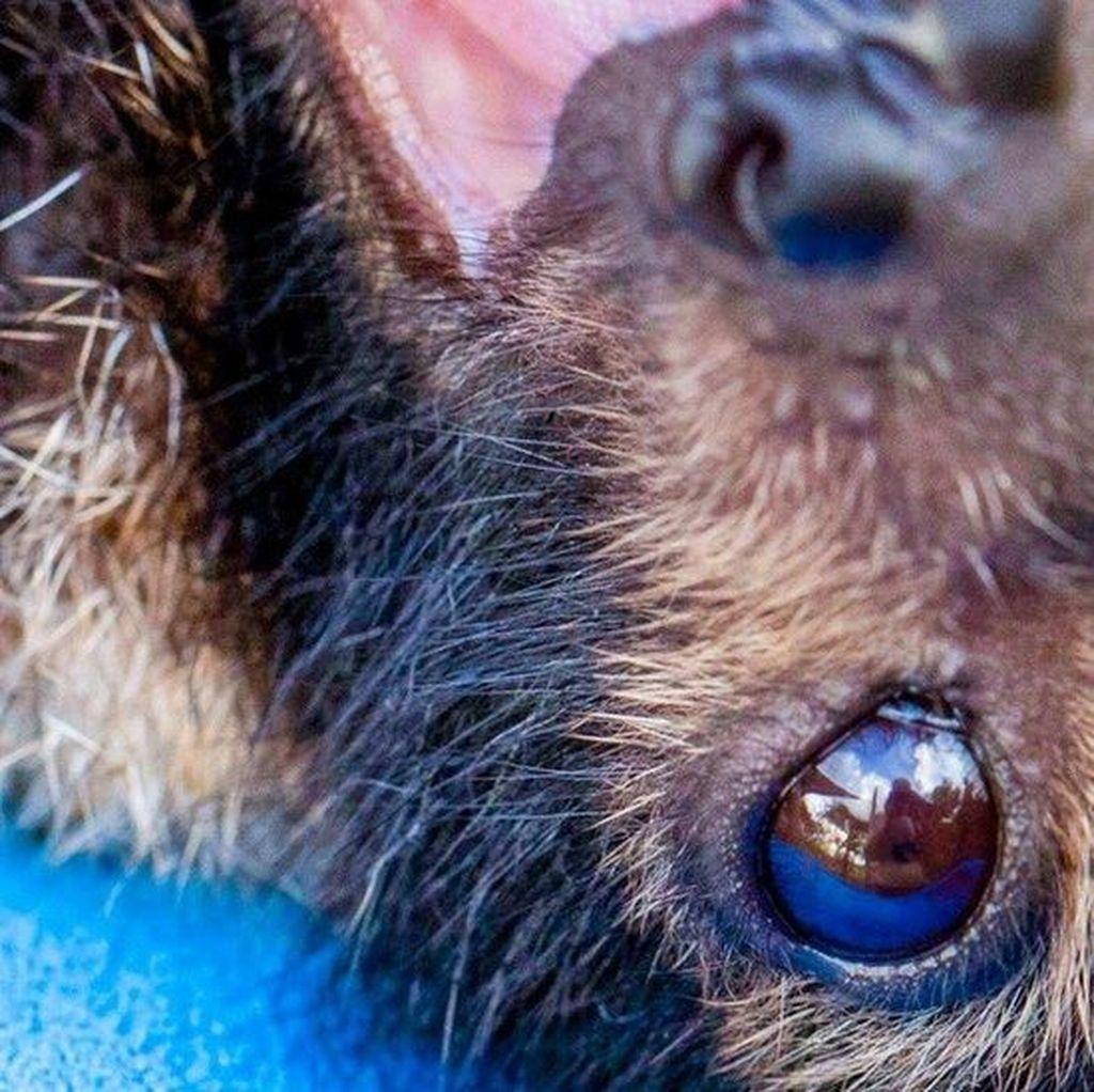 Puluhan Ribu Kelelawar di Australia Mati dalam Waktu 2 Hari