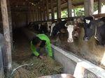 Produksi Susu Sapi di Garut Menurun Akibat Cuaca Buruk