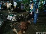 Tiga Ekor Sapi Mati Mendadak, Dokter Hewan: Keracunan Makanan