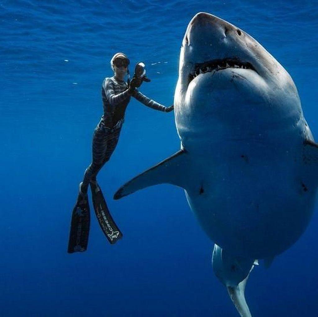 Cerita Tim Penyelam Saat Bertemu Hiu Putih Terbesar di Dunia