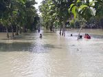 Hujan Deras, Belasan Hektare Sawah di Bojonegoro Terendam