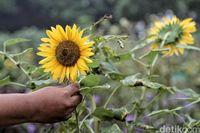 Terpikat Cantiknya Bunga Matahari di Timur Jakarta