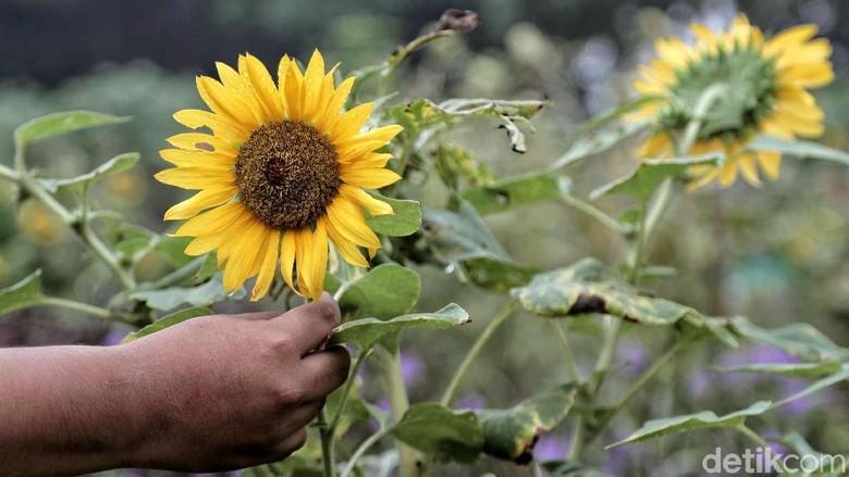 9000+ Gambar Bunga Matahari Tercantik  Paling Baru