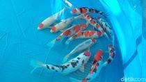 Salon Koi, Jalan Pintas Menangi Kontes Ikan