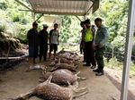 Belasan Rusa Tutul Coban Jahe Mati, Polisi: Diserang Macan