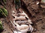 Belasan Rusa Tutul Mati di Coban Jahe, Diserang Anjing Liar?