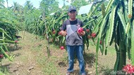 Harga Buah Naga Anjlok, Petani Ngaku Rugi hingga Rp 60 Juta