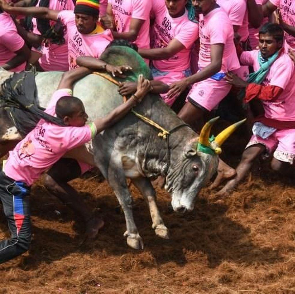 2 Penonton Tewas dalam Festival Adu Banteng di India