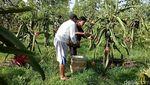 Harga Anjlok, Petani Buah Naga Buang Hasil Panen