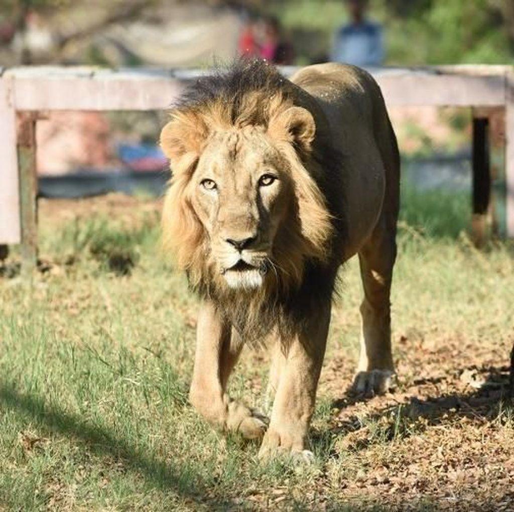 Panjat Tembok Kebun Binatang, Pria India Tewas Diserang Singa
