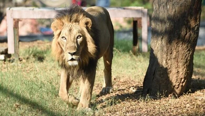 Ilustrasi singa (SAM PANTHAKY/AFP)