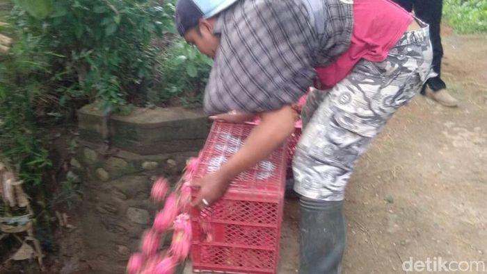 Buah Naga Dibuang ke Sungai Foto: Ardian Fanani