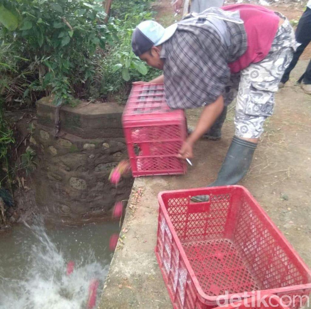 Harga Anjlok, Petani di Banyuwangi Buang Buah Naga ke Sungai