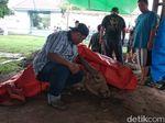 Salah Satu Kerbau Bule Pusaka Keraton Surakarta Mati Karena Sakit