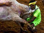 Momen Menegangkan Saat Banteng Mengamuk di Festival Jallikattu