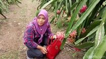 Harganya Anjlok, Buah Naga Mulai Ditinggalkan Petani Banyuwangi
