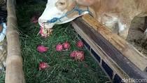 Gegara Harga Anjlok, Buah Naga di Banyuwangi Juga Jadi Pakan Sapi
