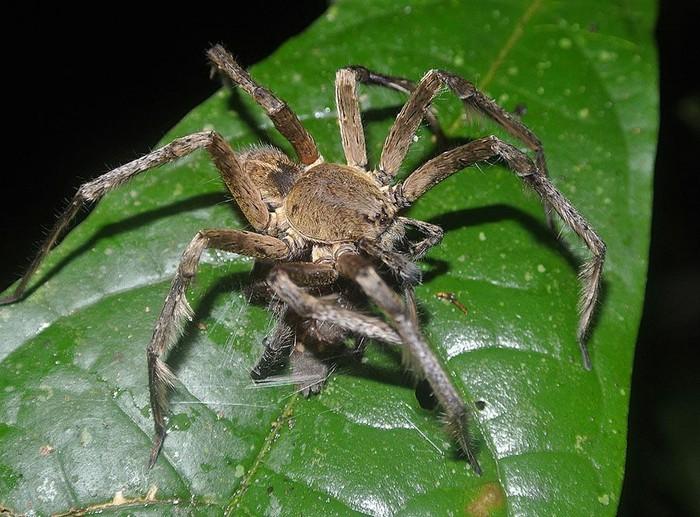 Ilmuwan di berbagai belahan dunia tengah berusaha mengembangkan obat kuat dari racun laba-laba ini. (Foto: Wikimedia Commons)