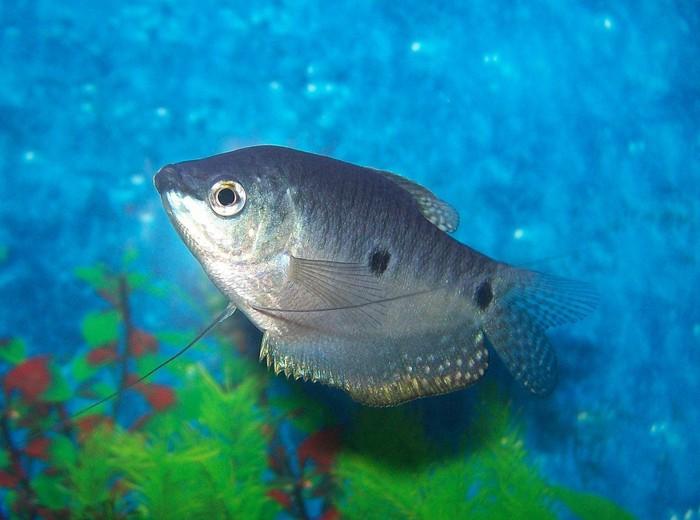 Ikan sepat (Trichogaster trichopterus) disebut jadi ikan yang paling ganas memberantas jentik nyamuk. Di laboratorium ikan ini bisa memangsa sekitar 86,5 jentik nyamuk per hari. (Foto: Wikimedia Commons)
