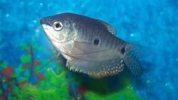 7 Jenis Ikan yang Paling Bisa Diandalkan untuk Berantas Jentik Nyamuk
