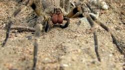 Satu hal yang membuat laba-laba dari genus Phoneutria ini mencolok dari spesies lain adalah gigitannya diketahui bisa menyebabkan ereksi menyakitkan.