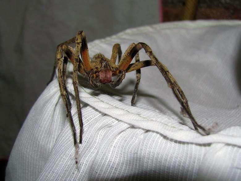 Beberapa orang menyebutnya dengan nama laba-laba pengembara Brazil, laba-laba pisang, atau laba-laba bersenjata. (Foto: Wikimedia Commons)