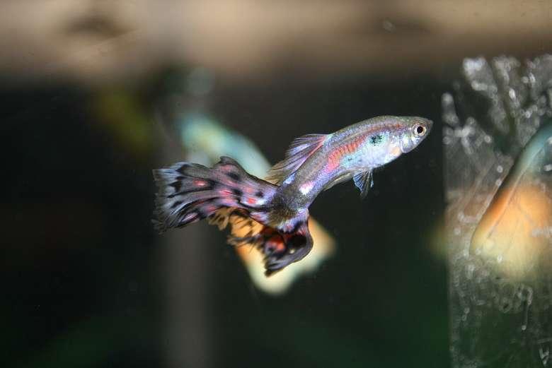 Berikutnya ada ikan guppy (Poecilia reticulata). Sering dipelihara sebagai ikan hias, guppy cukup efektif memangsa jentik dengan pejantan rata-rata bisa memakan 17,2 jentik nyamuk per hari dan betinanya memangsa rata-rata 22 jentik nyamuk perhari. (Foto: Wikimedia Commons)