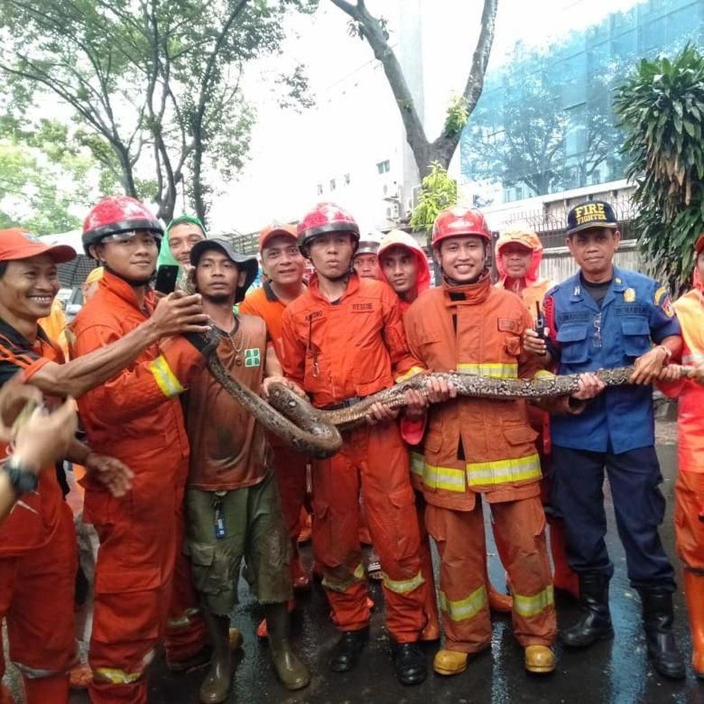 Ular Sanca 3,5 Meter Ditemukan di Saluran Air di Pancoran