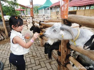 Nggak cuma Alpaca, ada beberapa hewan lain juga lho, seperti kambing dan keledai. Menyenangkan ya, Bun.
