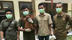 BKSDA Aceh Sita Orangutan yang Sudah 6 Bulan Dipelihara Warga