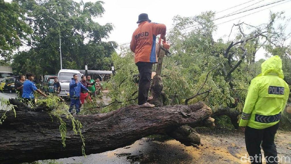 Pohon Asam Tumbang Sempat Macetkan Pantura Situbondo