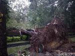 Pohon Tumbang di Denpasar: 1 Pemotor Tewas dan 6 Mobil Rusak