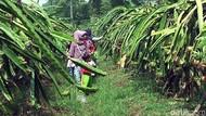 Yuk, Agrowisata di Kebun Buah Naga di Sukabumi