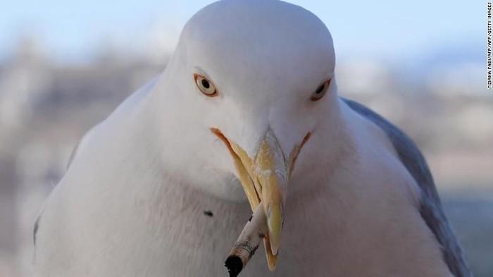 Burung menggigit puntung rokok. Foto: CNN/Getty Images
