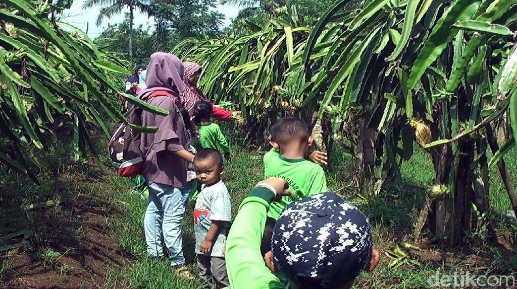Foto: Agrowisata Kebun Buah Naga di Sukabumi, Mampir Ah!