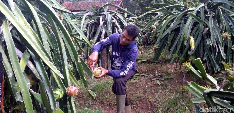 Makan buah dari kebunnya dan dipetik sendiri terkesan menyenangkan bukan? Nah, datang saja ke Sukabumi, di sana kamu bisa wisata sembari memetik buah naga. (Syahdan Alamsyah/detikTravel)