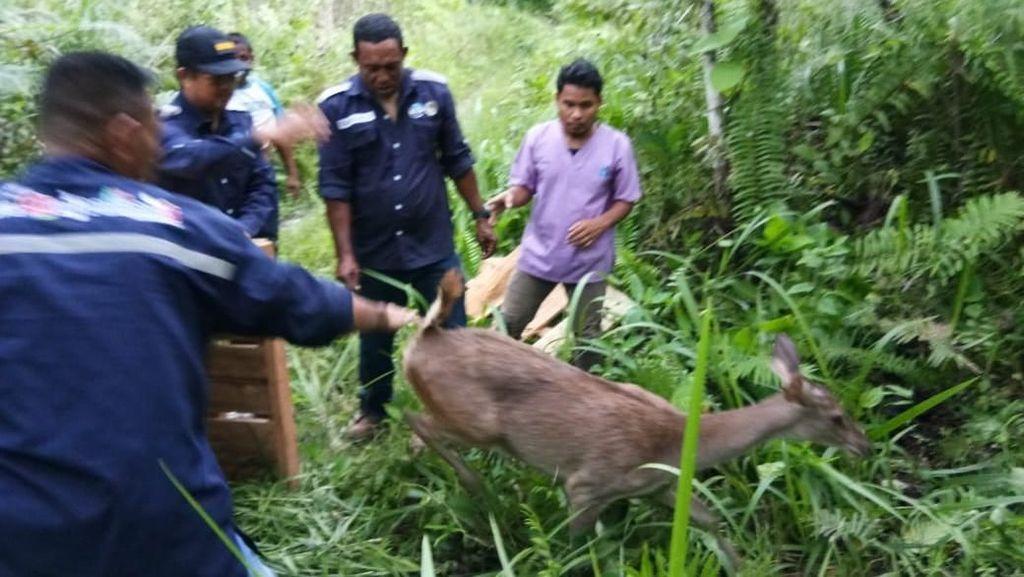 BKSDA Maluku Lepasliarkan 3 Rusa Timor yang Diserahkan Masyarakat