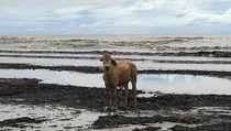 Kawanan Sapi Tersapu Banjir ke Pantai Penuh Buaya di Australia