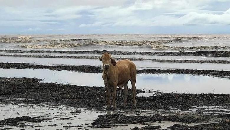 Sapi tersapu banjir ke kawasan Pantai Daintree (Facebook/Ashton Davenport)
