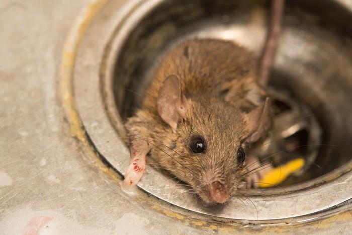 bangkai tikus di restoran