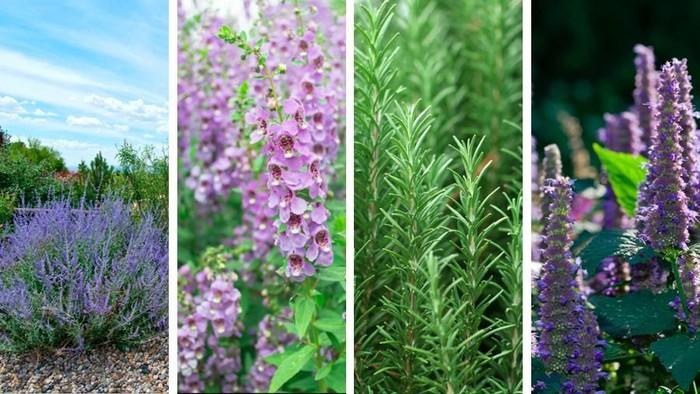 Beberapa tanaman mirip lavender (Foto: iStock)