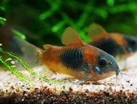 Telan Ikan Hias Hidup, Pria Ini Keracunan hingga Muntah Darah