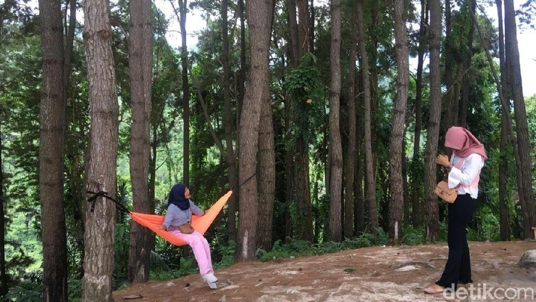Wisata hutan pinus di Polewali Mandar (Abdy Febriady/detikTravel)