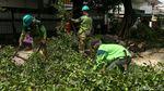 Antisipasi Tumbang, Dinas Kehutanan Pangkas Pohon Rindang