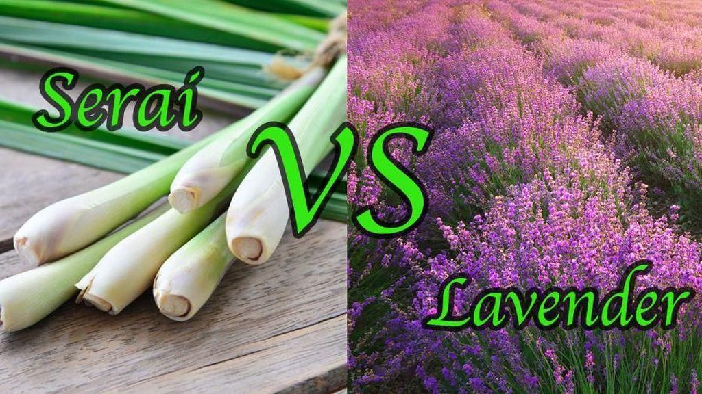 Serai Vs Lavender, Mana Lebih Ampuh Usir Nyamuk?