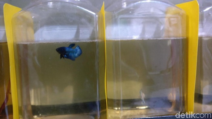 Ikan cupang peliharaan Satria (Foto: Firdaus/detikHealth)
