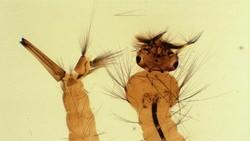 Kalau kamu pernah melihat jentik nyamuk, penasaran enggak bagaimana penampakan aslinya? Begini tubuh sesungguhnya larva hewan penyebar penyakit ini.