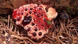 Hydnellum peckii adalah fungi yang terkenal kareka ciri khasnya yang tampak seperti bisa mengeluarkan darah. Apa saja rahasia jamur ini? Simak penjelasannya.