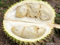 Heboh Durian Madu Racun, Beratnya 15 Kg dan Lezatnya Bikin Mabuk